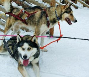 Dog sledding huskys in Santa Claus Village in Rovaniemi