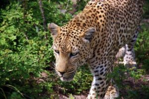 Leopard on safari in Kruger park in South Africa