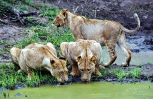 Lionesses on safari in Kruger park in South Africa