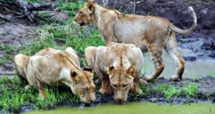 South Africa – Safari in the Sabi Sands Reserve of Kruger Park
