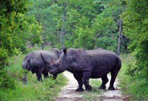 Rhinoceroses on safari in Kruger park in South Africa
