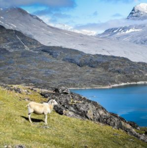 Sheep in Greenland