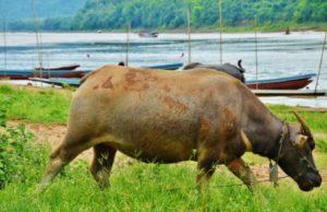 Water Bufalo in Laos