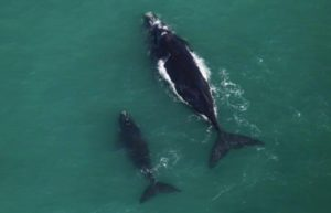 Whales from the plane in Walker Bay in South Africa