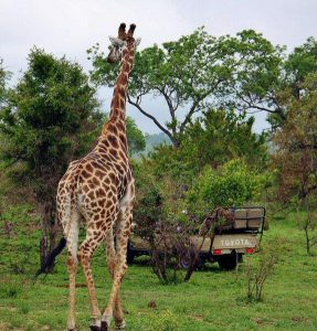Safari in the Kruger park in South Africa